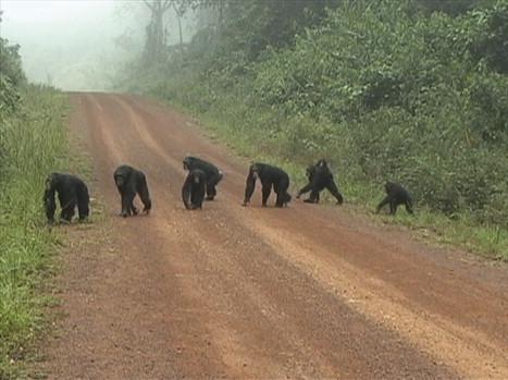 alpha-chimp